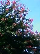 小金井の8月の花、百日紅