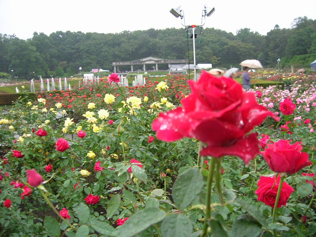 神代植物園のバラ1