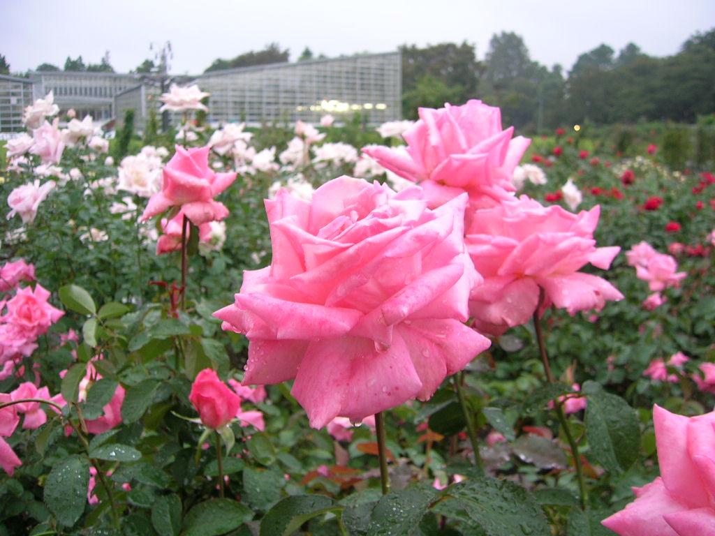 神代植物園のバラ2