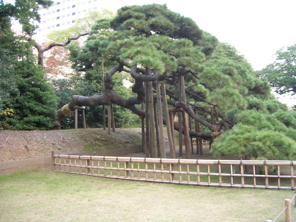 300年の松