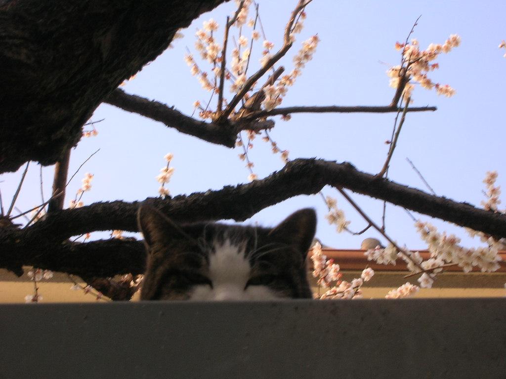 小金井市の梅
