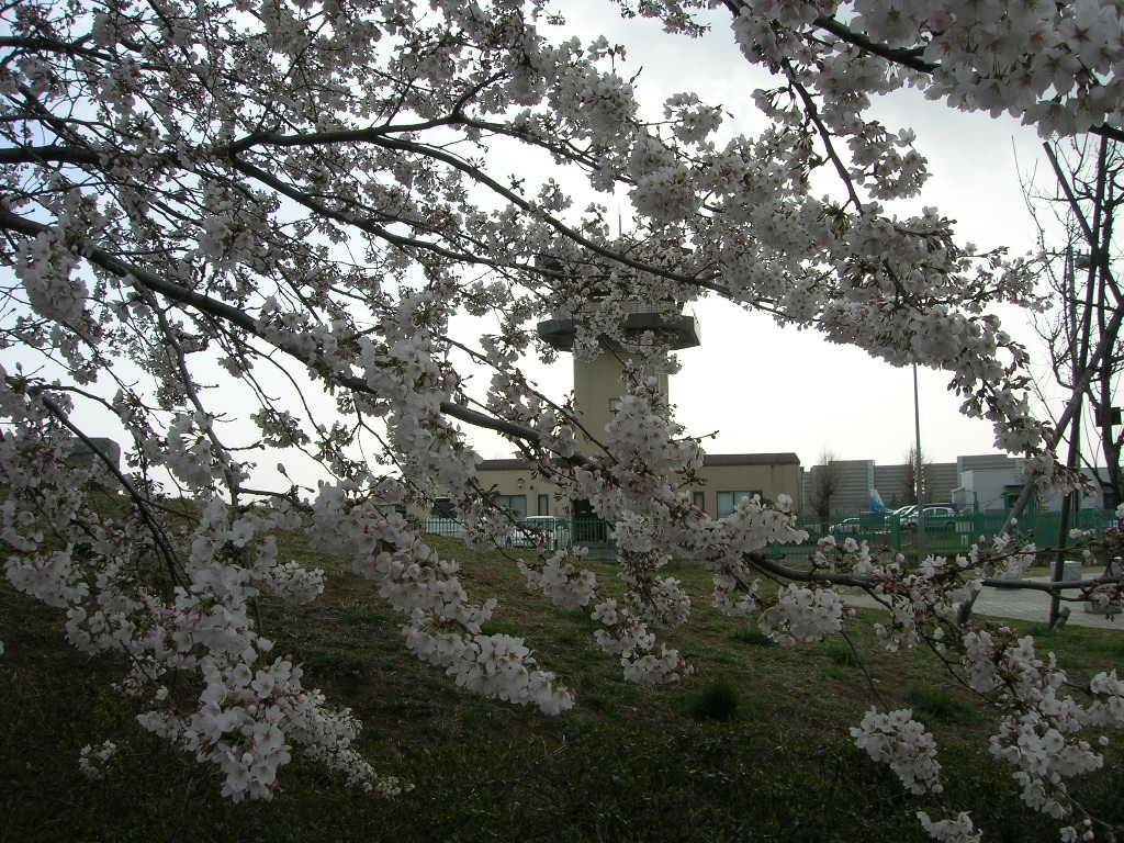 2006年3月29日調布飛行場の桜