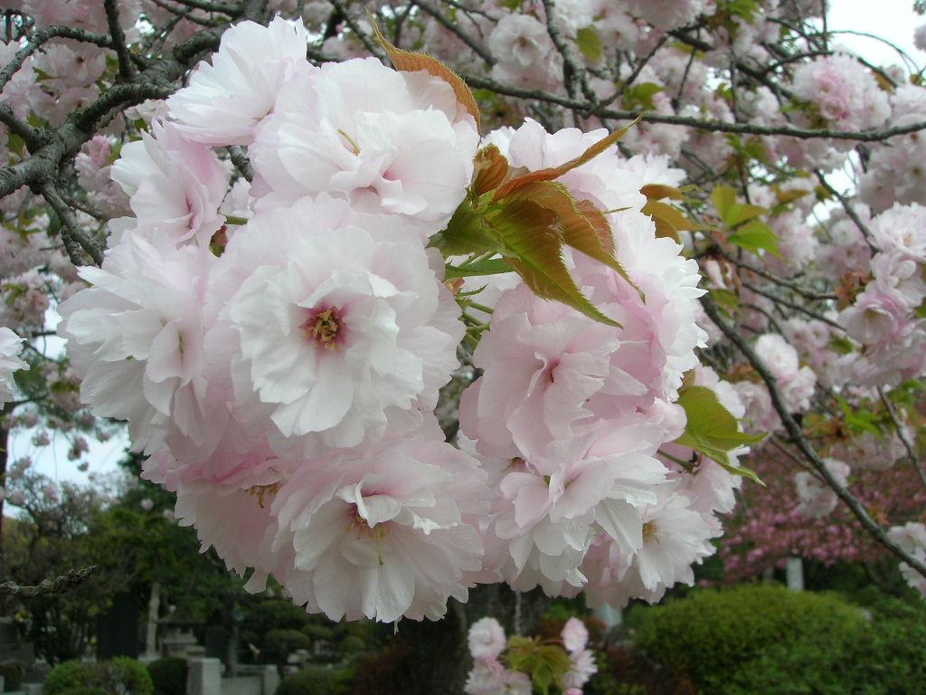 多摩霊園のボタン桜