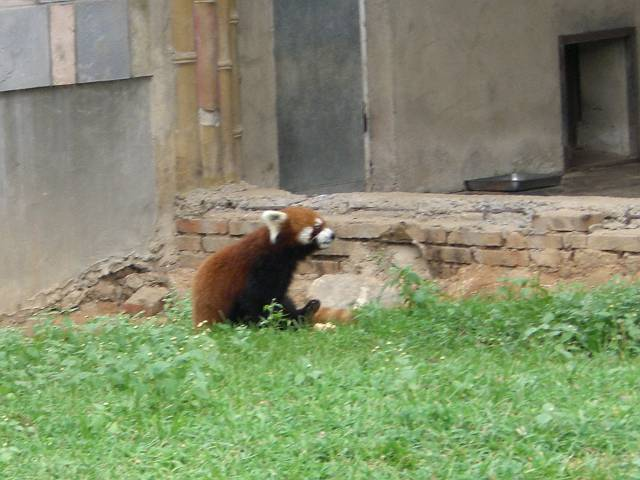 大連森林動物園、レッサーパンダ