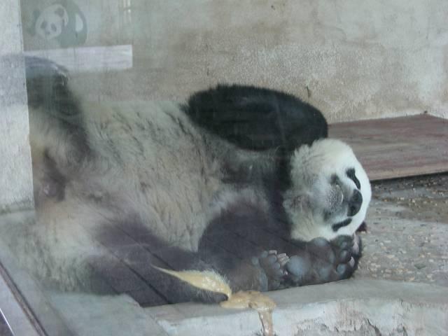 大連森林動物園 パンダの寝顔