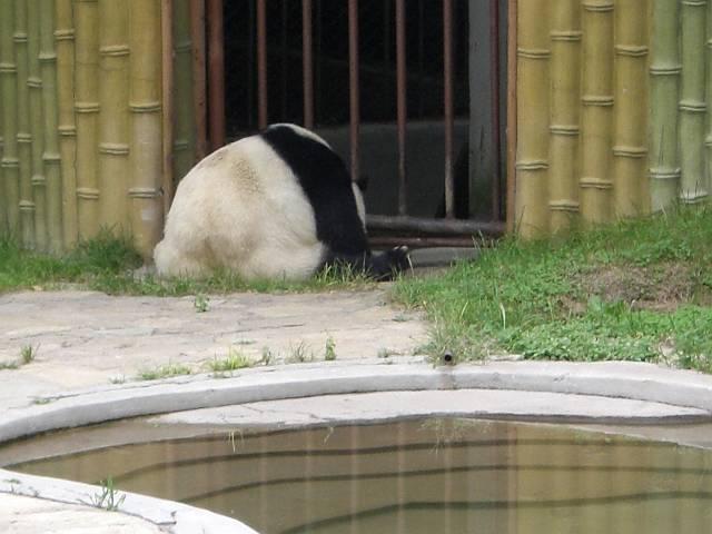 パンダ瞑想