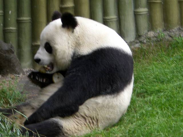 パンダ食事2