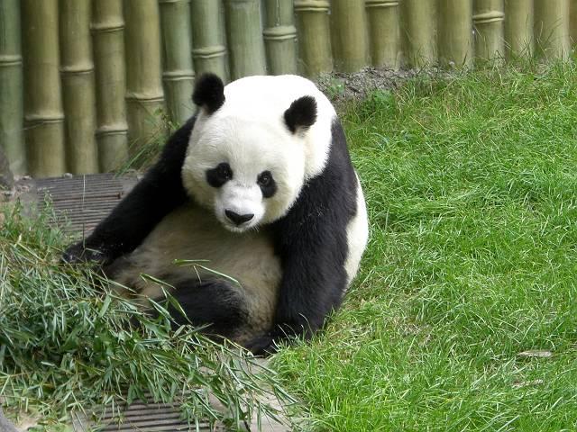 パンダ食事3
