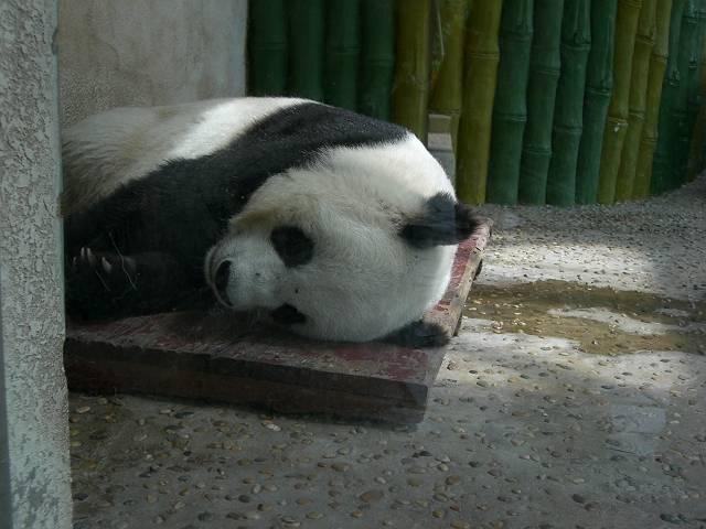 パンダ熟睡