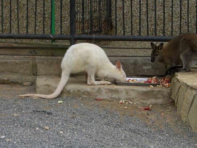 ホワイトカンガルー