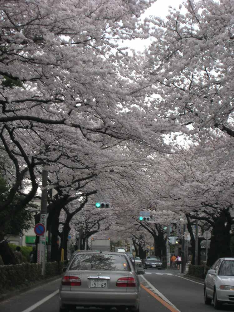 武蔵野市役所の桜