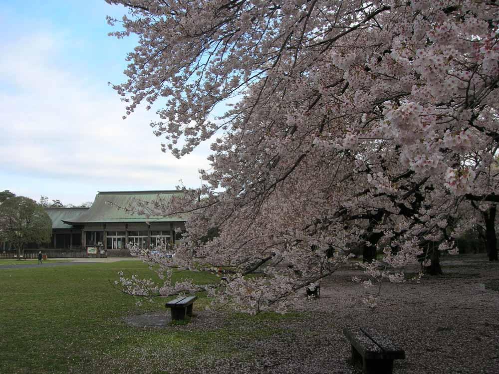 小金井公園郷土館前の桜