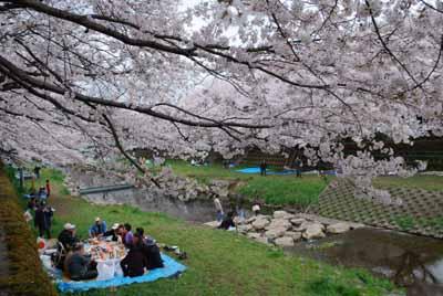 野川のお花見
