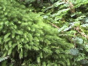 屋久島杉の芽