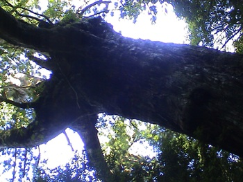 YAKU杉