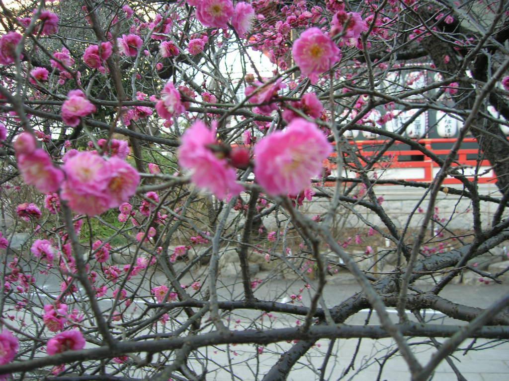 2月高幡不動の梅の季節
