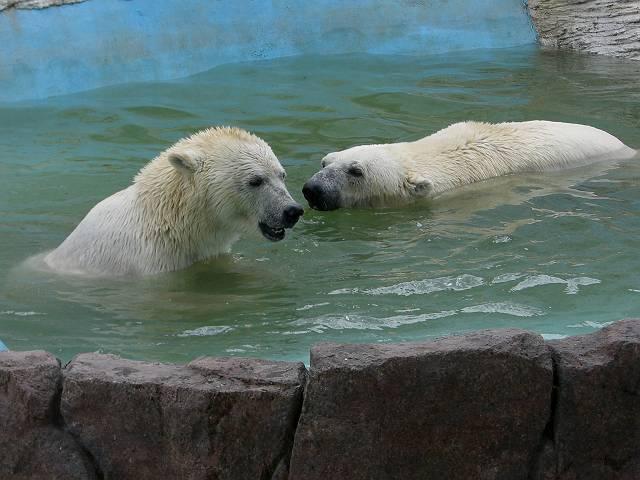 大連森林動物園 白クマ(シロクマ)