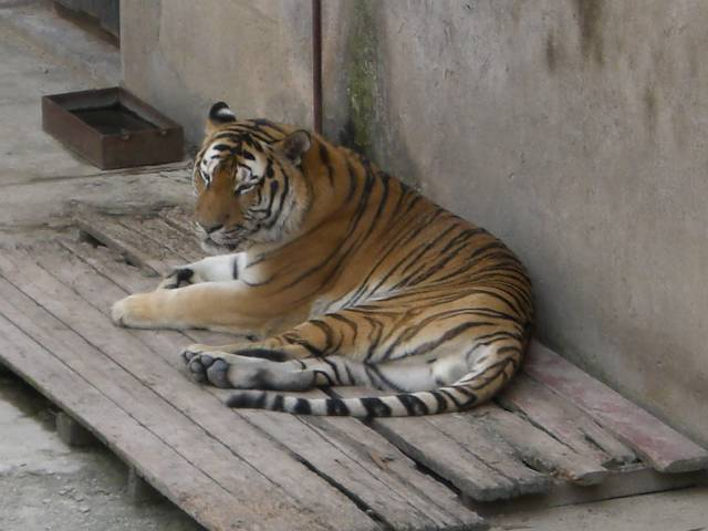 大連森林動物園 トラ