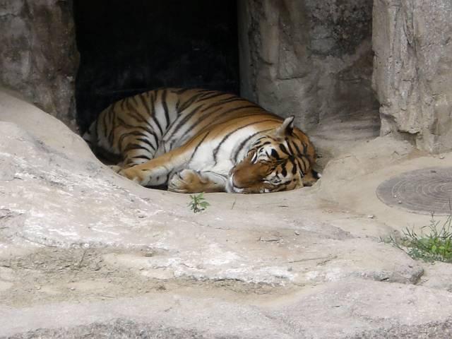 大連森林動物園 トラ続き