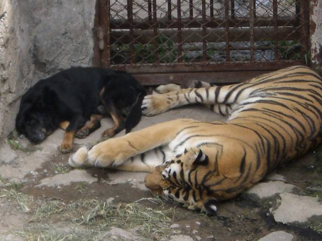大連森林動物園 トラ最終