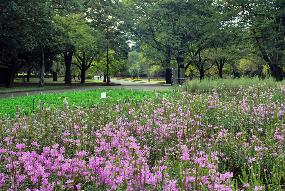 ハナトラノオ 満開の公園