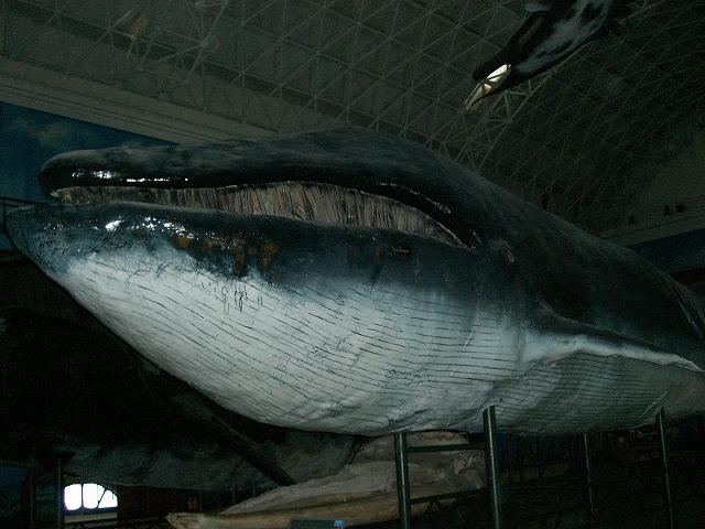大連自然博物館 長須鯨