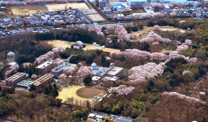東京天文台の桜満開