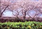春、隅田川舟遊び