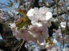 松前桜まつり