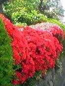 小金井市の4月の花