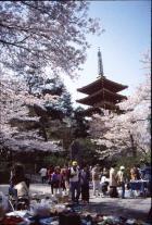 高幡不動尊の桜