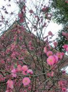梅の季節の高幡不動