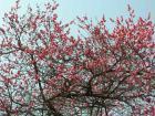 高幡不動の梅