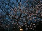 江戸彼岸桜