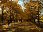 昭和記念公園のイチョ...